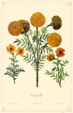 Marigolds Flowers Masterprint