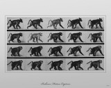 Baboon Movement by Eadweard Muybridge Masterprint