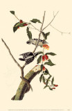 Downy Woodpecker Masterprint