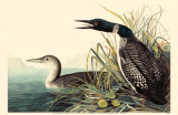Common Loon Reproduction image originale