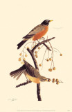 American Robin Stampa master