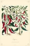 Peppers Masterprint