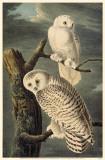 Snowy Owl Masterprint