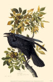 Common Raven Reproduction image originale