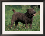 Black Shar Pei Standing in Grass Prints by Adriano Bacchella
