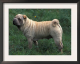 Shar Pei Standing in Grass Showing Wrinkles on Back Prints by Adriano Bacchella