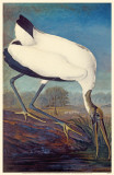 Wood Stork Reproduction image originale