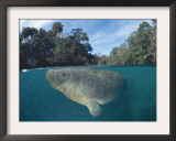 Dwest Indian Manatee, Split Level, Homosassa River, Florida, USA Poster by Jurgen Freund