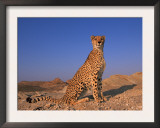 Cheetah, Tsaobis Leopard Park, Namibia Print by Tony Heald
