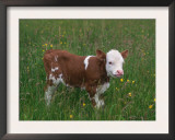 Cows, Domestic Cattle, Calf, Europe Prints by  Reinhard
