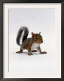 Baby Grey Squirrel, Portrait Prints by Jane Burton