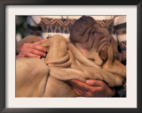 Shar Pei Puppy Lying on Its Back and Being Cuddled, Showing Excess Skin Posters by Adriano Bacchella