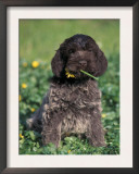 Korthal's Griffon / Wirehaired Pointing Griffon Puppy Eating Flower Posters by Adriano Bacchella