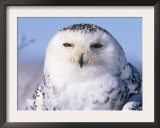Snowy Owl, Female, Scotland, UK Prints by Niall Benvie