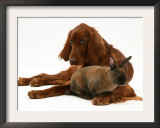 Irish Setter with Dwarf Rex Rabbit Posters by Jane Burton