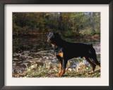 Rottweiler Dog, Illinois, USA Prints by Lynn M. Stone