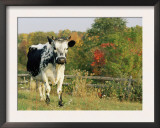 Randall Blue Lineback, Rare Breed of Domestic Cattle, Connecticut, USA Posters by Lynn M. Stone