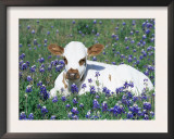 Domestic Texas Longhorn Calf, in Lupin Meadow, Texas, USA Prints by Lynn M. Stone