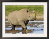 Black Rhinoceros, Walking in Water, Etosha National Park, Namibia Posters by Tony Heald