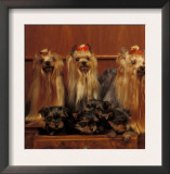 Domestic Dogs, Four Yorkshire Terriers with Four Puppies in a Drawer Poster by Adriano Bacchella