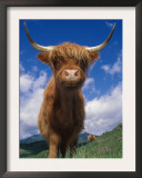 Highland Cattle Bull Portrait, Scotland, UK Poster by Niall Benvie
