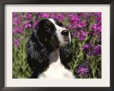 English Springer Spaniel Dog, USA Prints by Lynn M. Stone