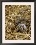 Domestic Cat, Tabby Farm Kitten Playing in Straw Prints by Jane Burton