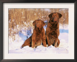 Two Chesapeake Bay Retrievers Sitting in Snow, Domestic Dog Breed (Canis Familiaris) Illinois, USA Posters by Lynn M. Stone