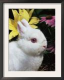 Netherland Dwarf Domestic Rabbit, USA Prints by Lynn M. Stone