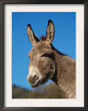 Domestic Donkey Head Portrait, Europe Posters by  Reinhard