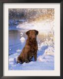 Chesapeake Bay Retriever Sitting in Snow by River, Illinois, USA Art by Lynn M. Stone