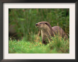 European Otter (Lutra Lutra), Otterpark Aqualutra, Leeuwarden, Netherlands, Europe Prints by Niall Benvie