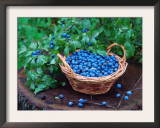Blackthorn Berries on Shrub and in Basket (Prunus Spinosa) Europe Prints by  Reinhard