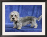 Dandie Dinmont Terrier Dog Posters by Petra Wegner