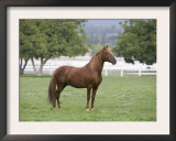 Chestnut Paso Fino Stallion, Ojai, California, USA Print by Carol Walker