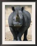 White Rhinoceros, Etosha National Park Namibia Southern Africa Prints by Tony Heald