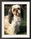 Shih Tzu with Facial Hair Cut Short Prints by Adriano Bacchella
