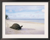 Aldabra Tortoise on Beach, Picard Island, Aldabra, Seychelles Poster by Pete Oxford