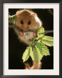 Common Dormouse, Belgium Print by De Meester