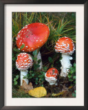 Fly Agaric Toadstools (Amanita Muscaria) Europe Poster by  Reinhard