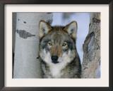 Grey Wolf Head Portrait, Us Art by Lynn M. Stone