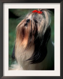 Shih Tzu Looking Up Posters by Adriano Bacchella