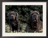 Black Neopolitan Mastiff with Puppy Posters by Adriano Bacchella