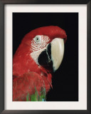 Green Winged Macaw Posters by Lynn M. Stone