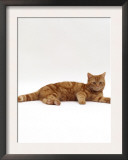 Domestic Cat, Red Tabby Male Lying Down Prints by Jane Burton
