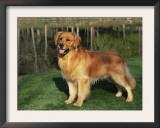 Golden Retriever (Canis Familiaris) Illinois, USA Prints by Lynn M. Stone