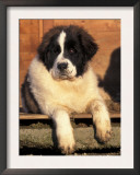 Young Pyrenean Mastiff Resting Poster by Adriano Bacchella