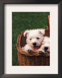 Domestic Dogs, Four West Highland Terrier / Westie Puppies in a Basket Print by Adriano Bacchella