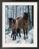 Domestic Horse, Dulmen Ponies, Mare with Foal in Winter, Europe Print by  Reinhard