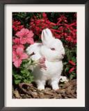Netherland Dwarf Domestic Rabbit, USA Poster by Lynn M. Stone